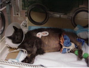 cat with gangrene